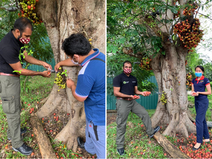 1StopBorneo Wildlife Propagates Fig Tree At Shangri-La's Tanjung Aru Resort & Spa, Kota Kinabalu