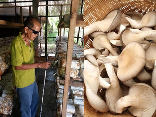 Mushrooms Make A Difference in Sabah