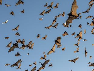 Bat Appreciation Day: Flying Foxes in Boracay