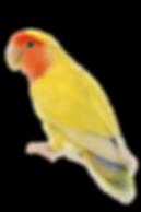 peach-faced-lovebird-1 copy.png