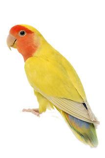 peach-faced-lovebird-1 copy.png