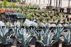 Succulents + Agaves + Aloes