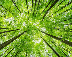 Green Forest of Beech Trees, looking up,