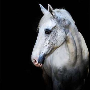'Horse Portrait' by Karen Greene ( 12 marks )