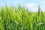 barley-872000__340.jpg