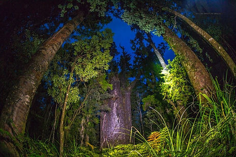 Te Matua Ngahere at Night.JPG