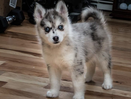 Pomsky Puppies: A Guide for New Owners