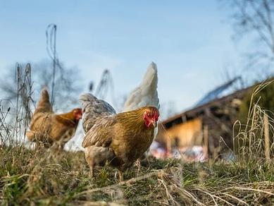 Tavuklarda Kanibalizm
