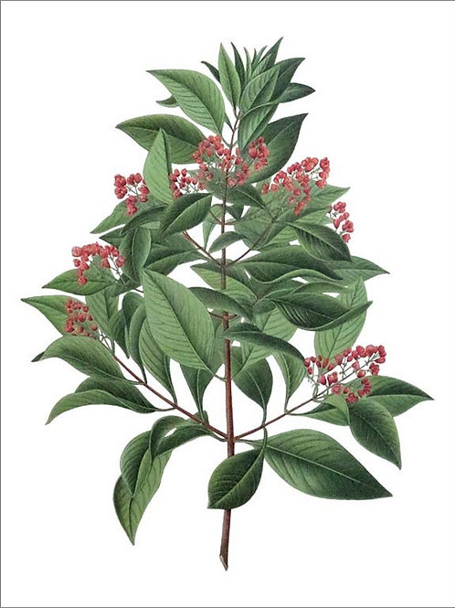 Indian sandalwood