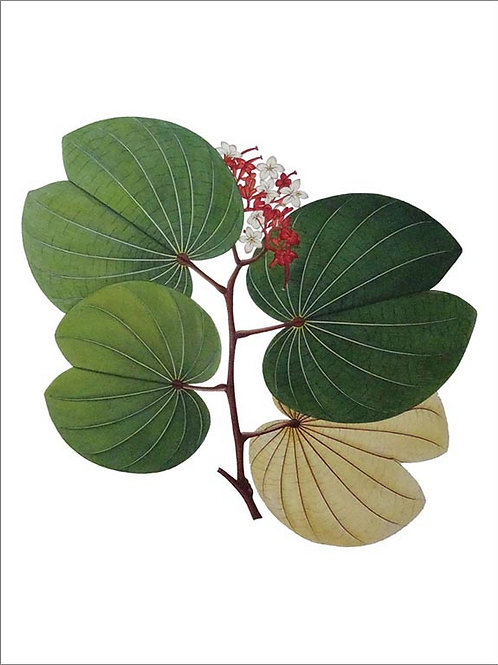 Pore Leaved Bauhinia
