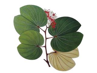 Botanical Paintings of Indian Flowering Plants