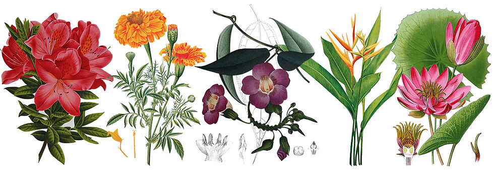 Botanical Paintings of Indian Flowering Plants, Siddhartha Das Studio