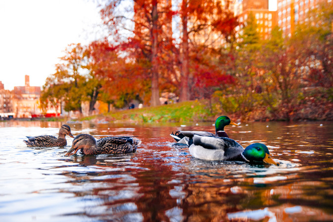 Central Park Ducks 01.jpg