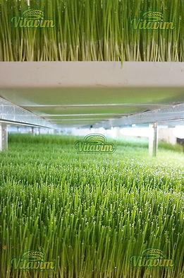 Поля ростков пшеницы