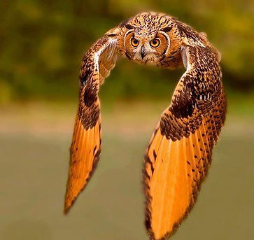 owl in flight it's our nature