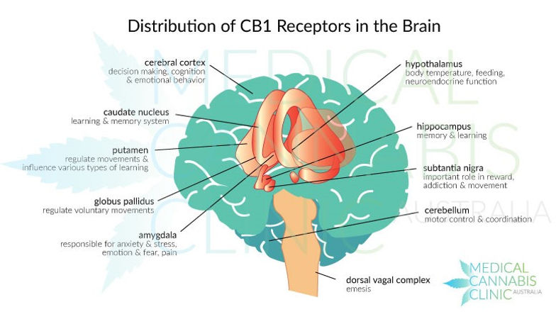 Cannabis Gehirn.jpg