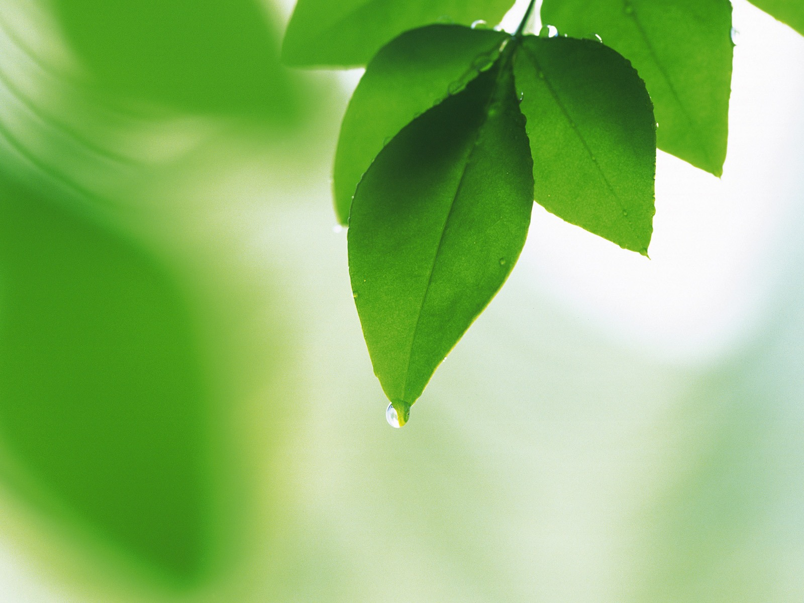 Fresh-green-leaves-wallpaper