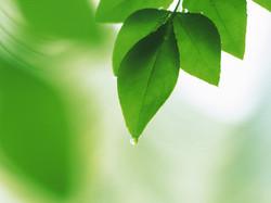 Fresh-green-leaves-wallpaper