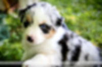 Puppies 5 weeks with Lauri-1.jpg