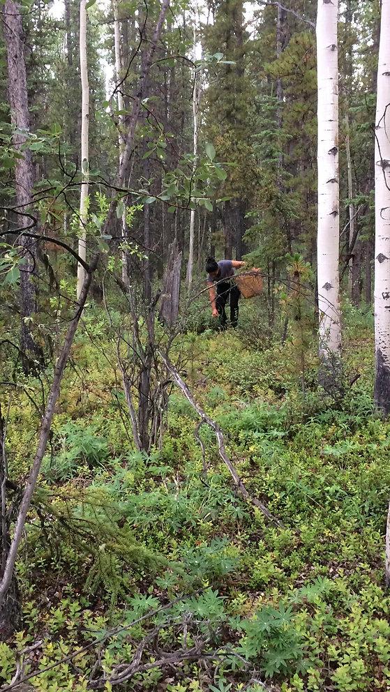 Wildcrafting in the Yukon