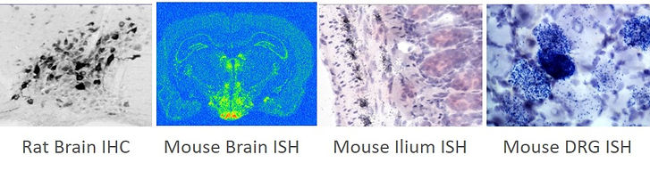 Mouse ISH.jpg