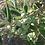 Thumbnail: Olive Oil, 0.700 Liter, 100% from Kalamata, Super Extra Virgin Organic