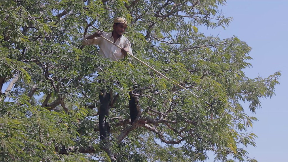 Soliga Tribe Member Harvests Leaves
