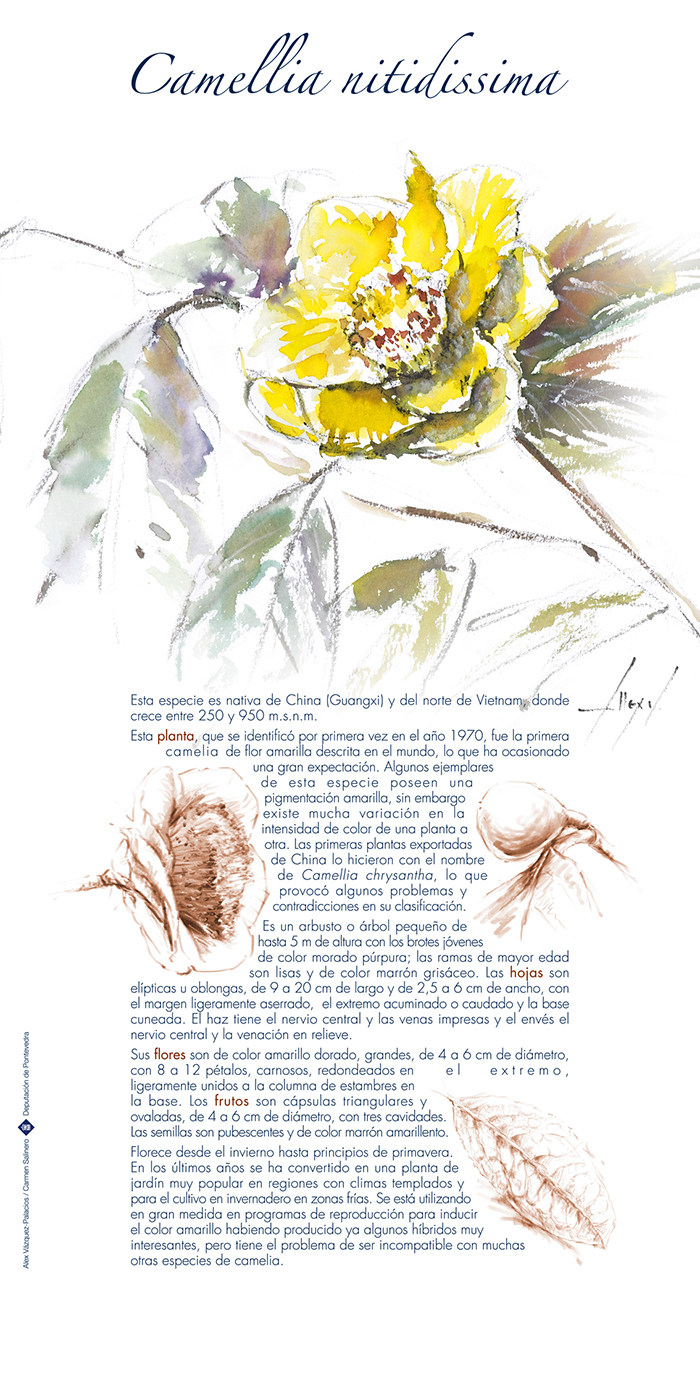 Camellia nitidissima