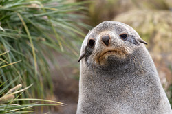 Female Fur Seal