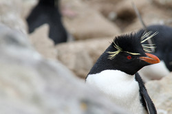 Rock-hopper Penguin
