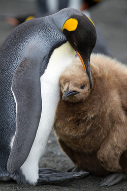 Adult King Penguin With Young