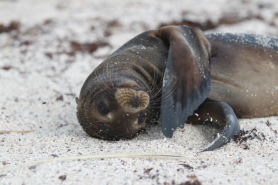 Juvenile Galápagos Sea Lion