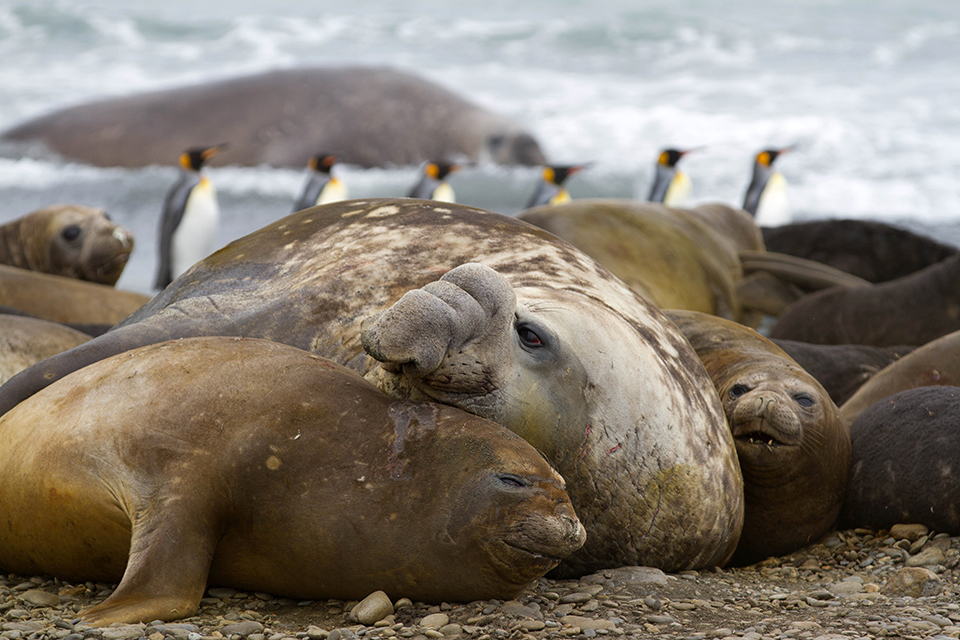 Elpehant Seals & King Penguins