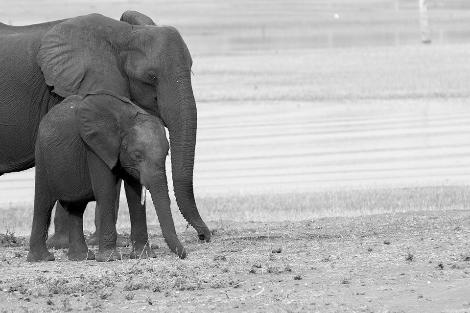 Elephant with Young