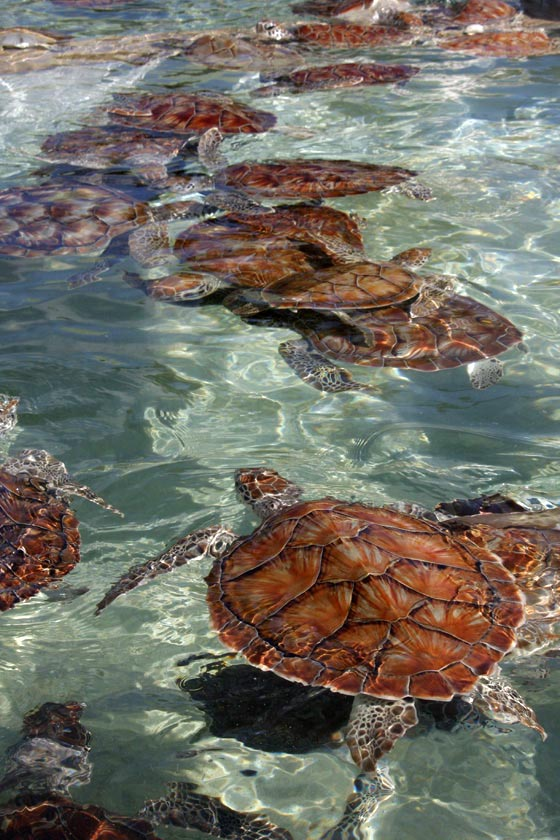 Green Seaturtles