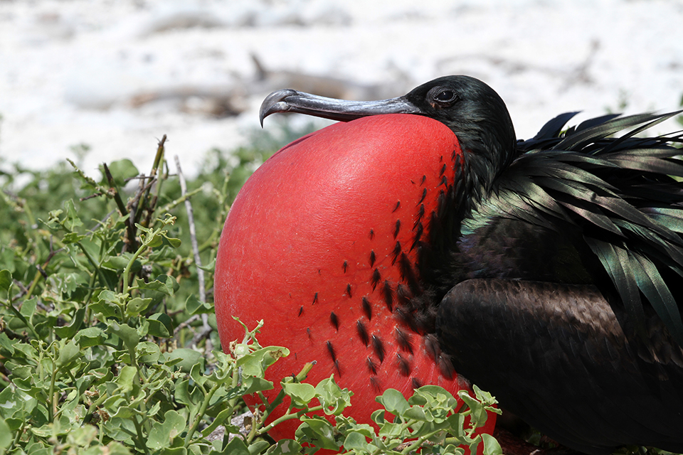 Male Galápagos Frigatebird