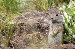 Juvenile Uinta Ground Squirrel