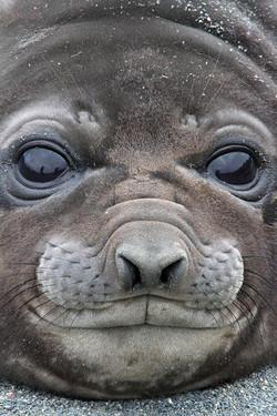 Juvenile Southern Elephant Seal