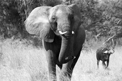 Elephant & Cape Buffalo