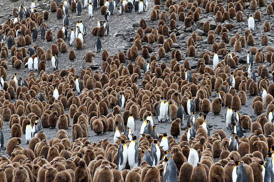 King Penguins (young & adults)