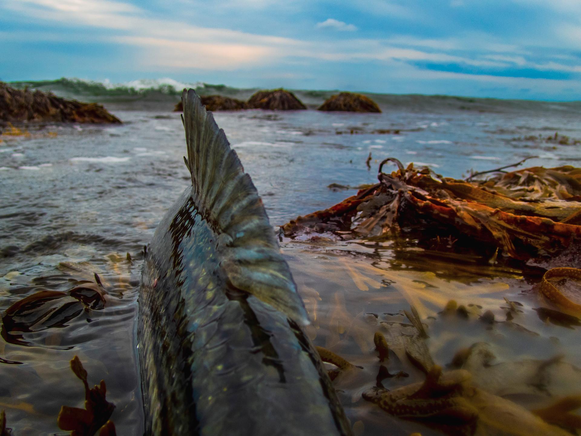 fish in kelp_1.JPG