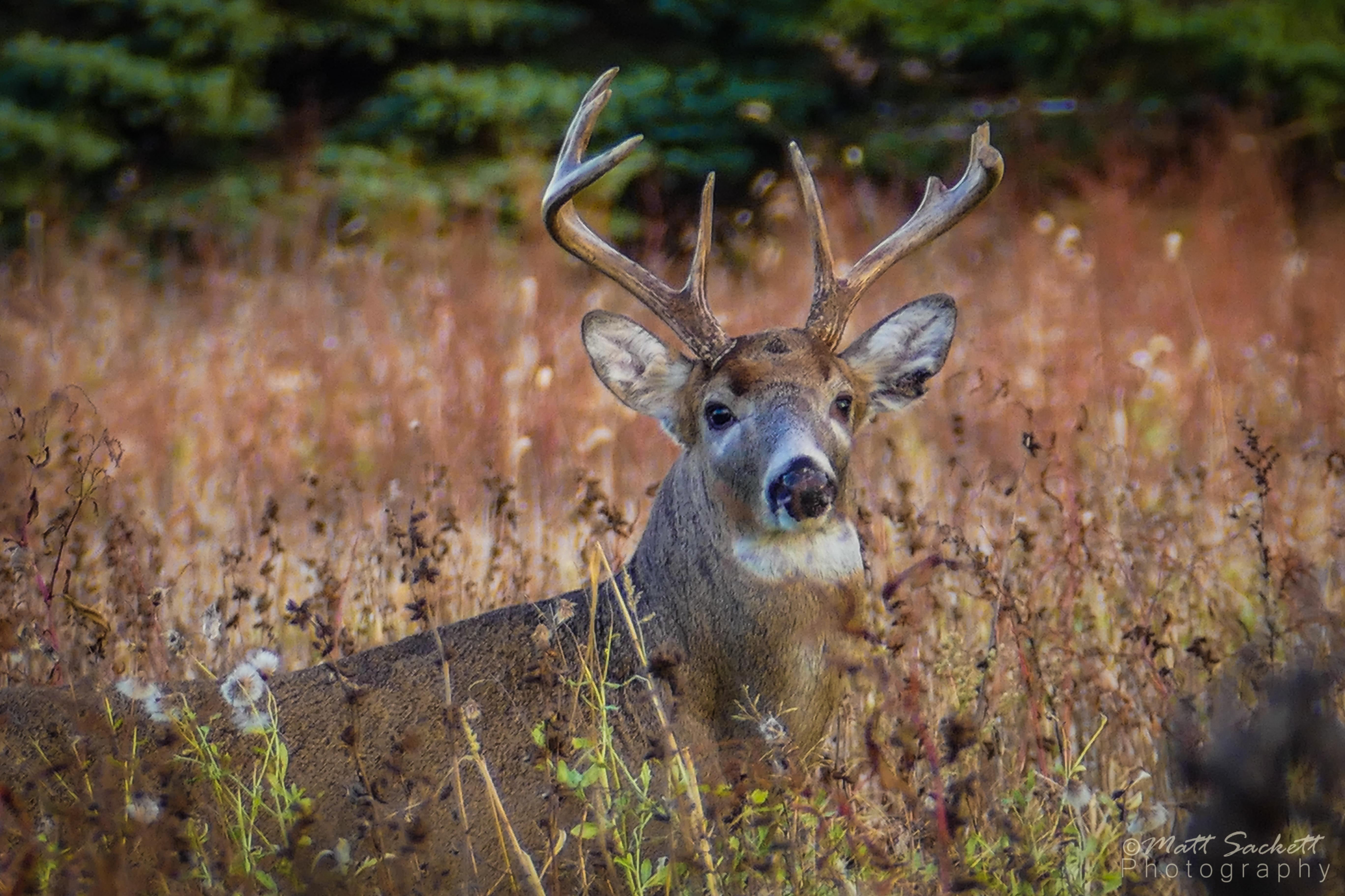 Old Buck