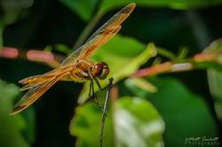 Auburn Dragonfly