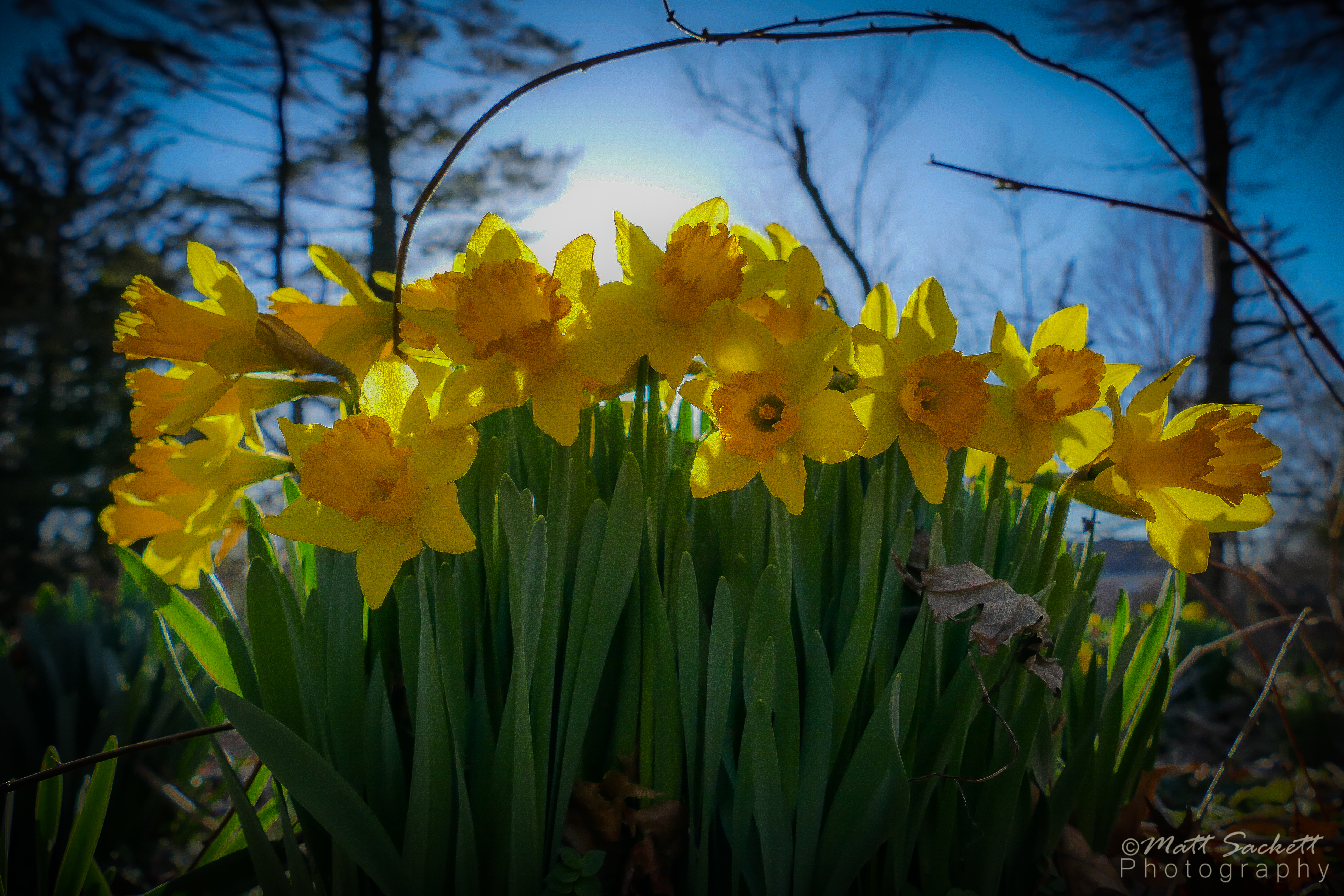 Daffodils of Spring