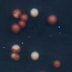 yeast prion
