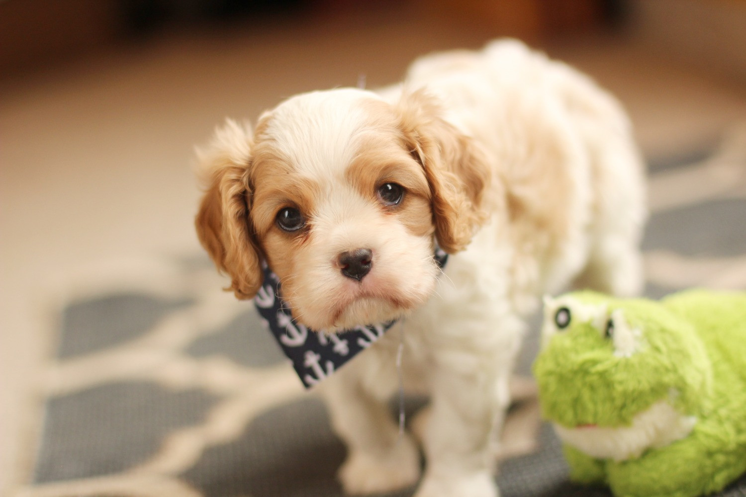 Willow Ridge Puppies for Sale: Cavalier King Charles