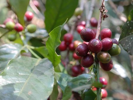 Coffee - where does it come from?