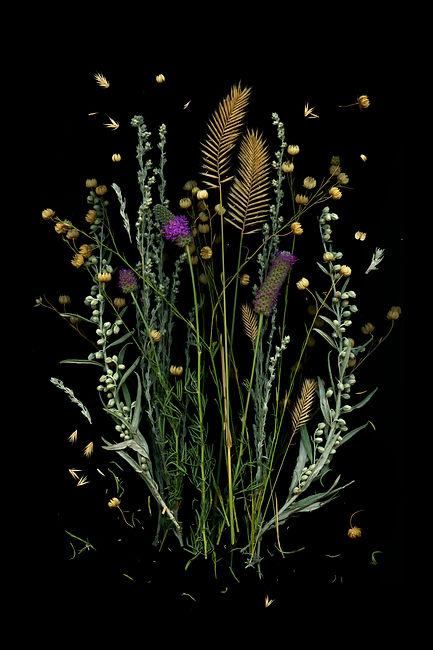 Dalea purpurea on black background