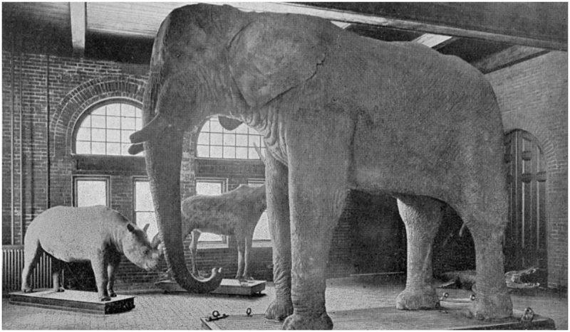 Jumbo enpaillé au Musée Barnum