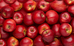 Red apples in large quantities.jpg